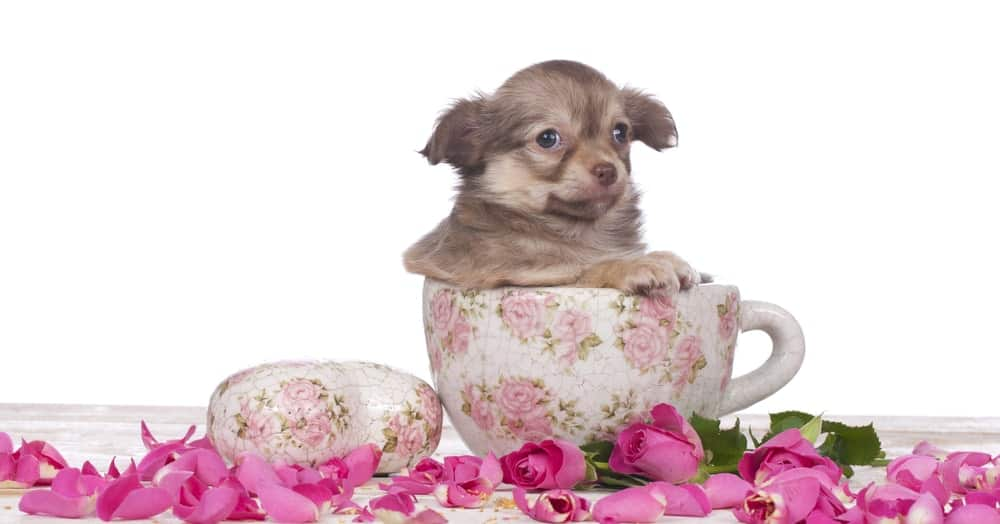 Teacup Chihuahua in a Teacup