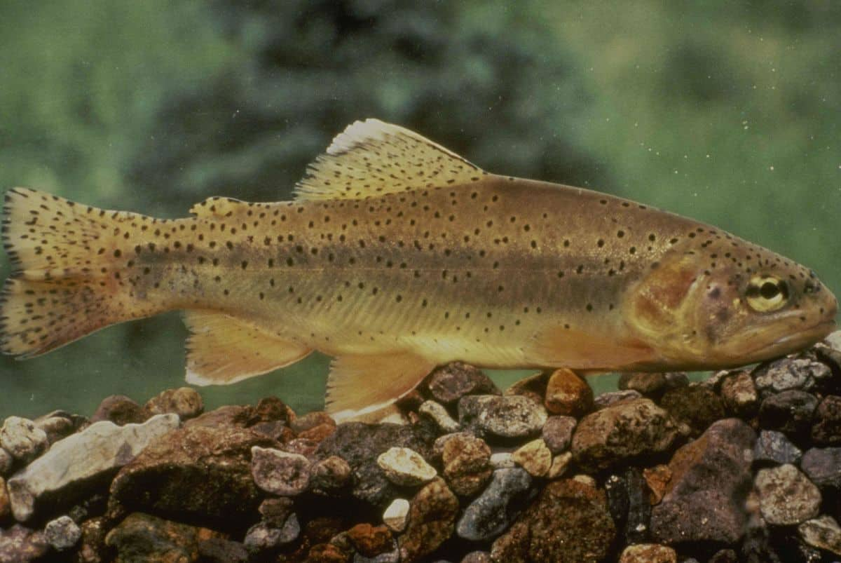 The Gila trout