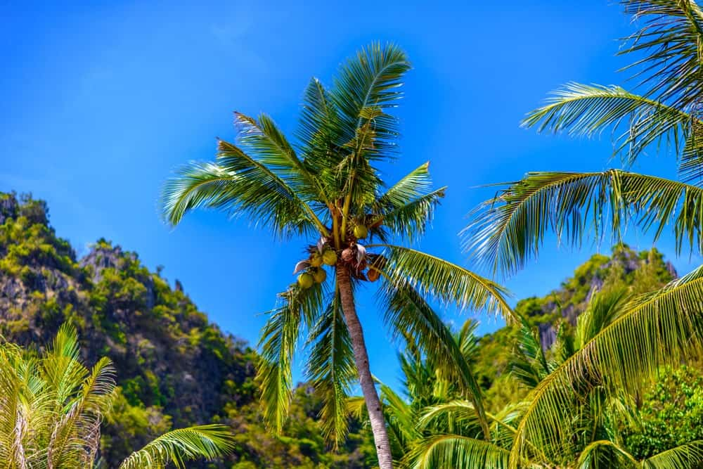 A Variety of West Coast Tall Coconut Trees