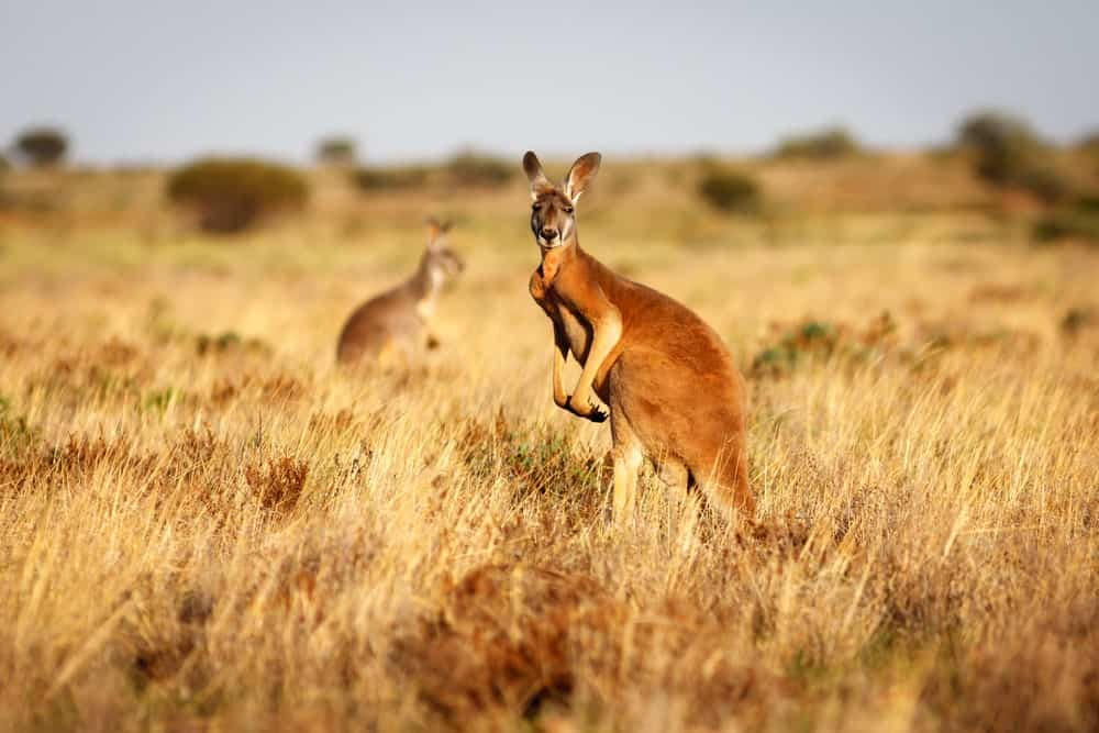 A Red Kangaroo standing upright