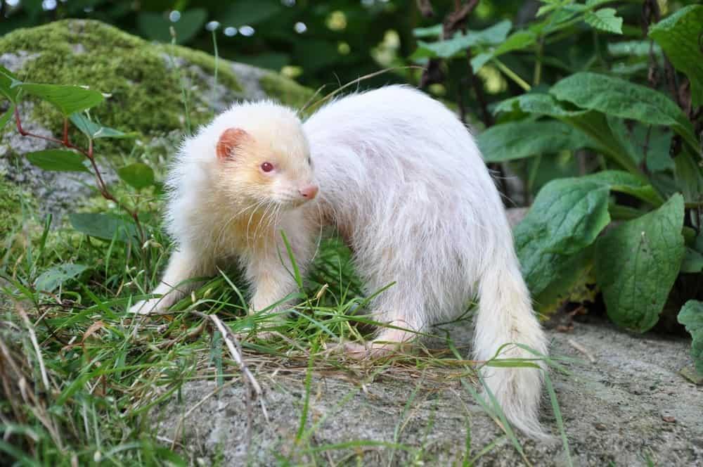 An albino ferret