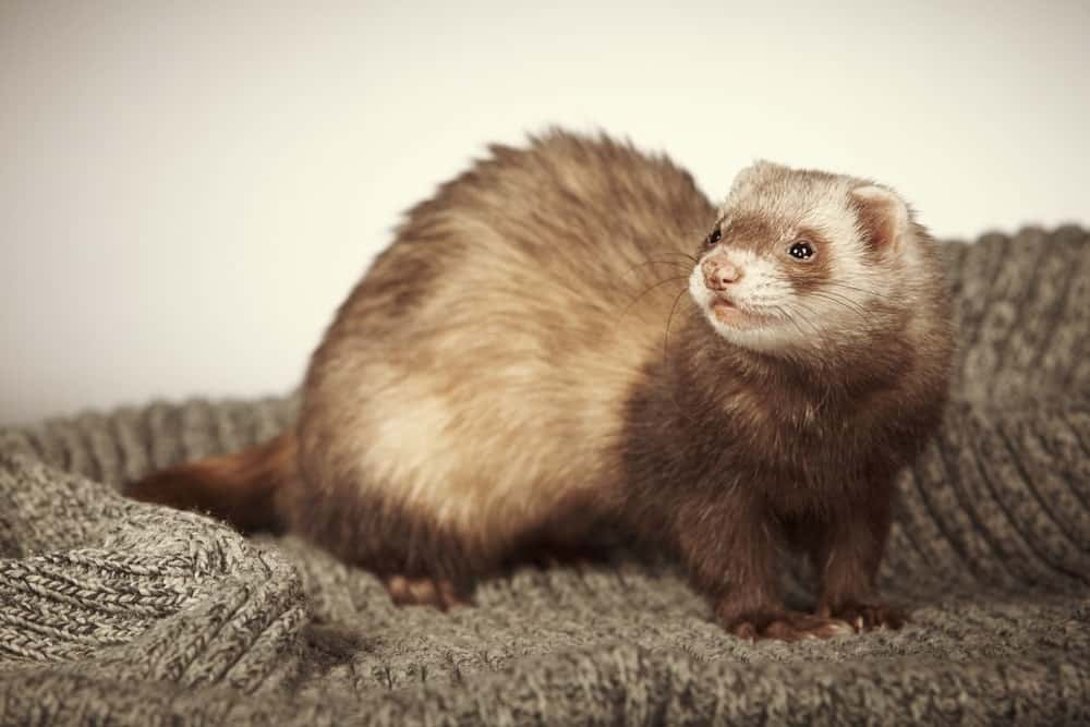 Chocolate Ferret