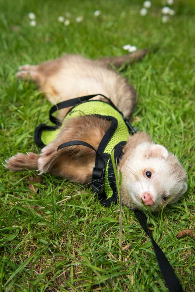 A male cinnamon ferret