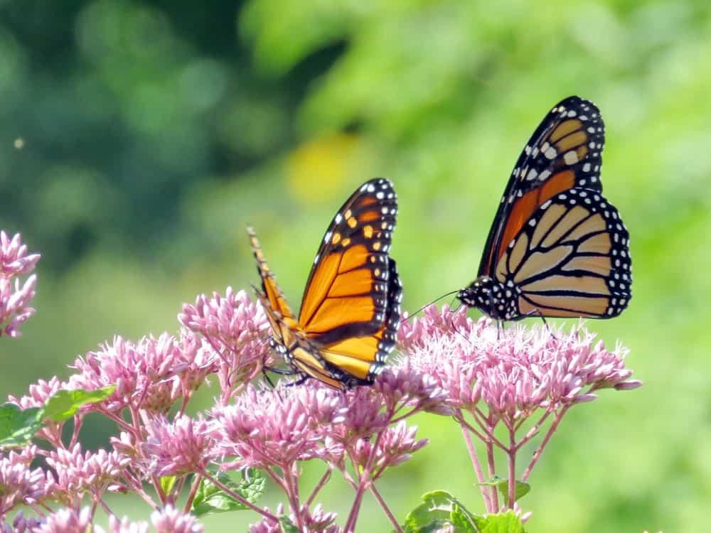 Beautiful Butterflies on Pink Flowers