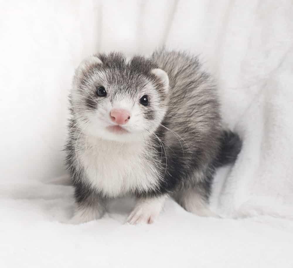 Silver ferret