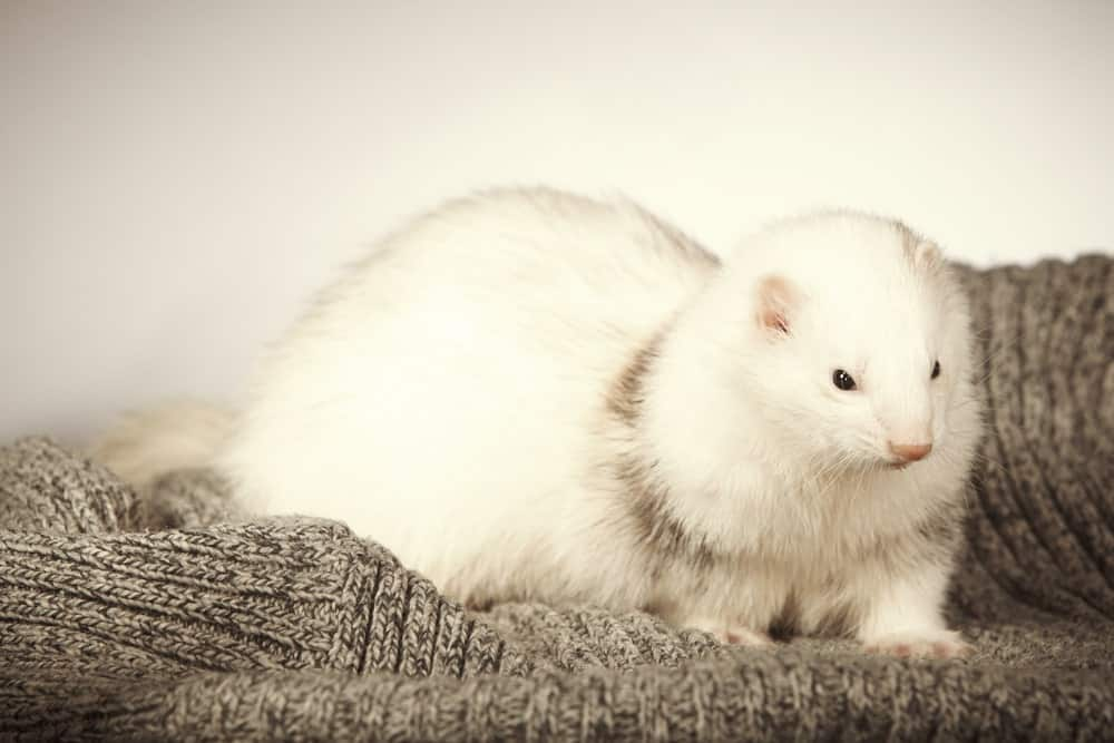 Dark-Eyed White Ferret