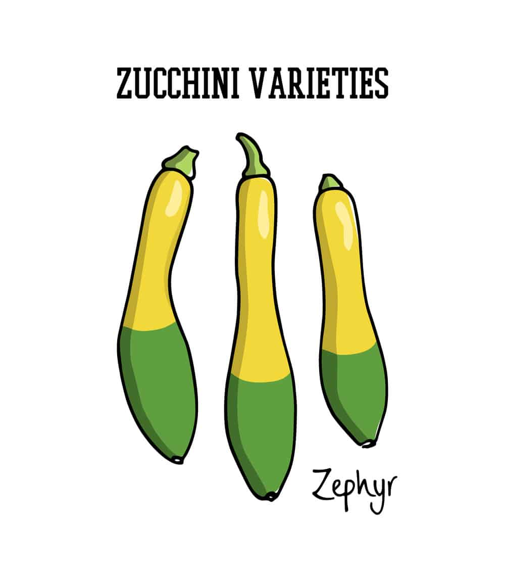 Zephyr zucchini illustration