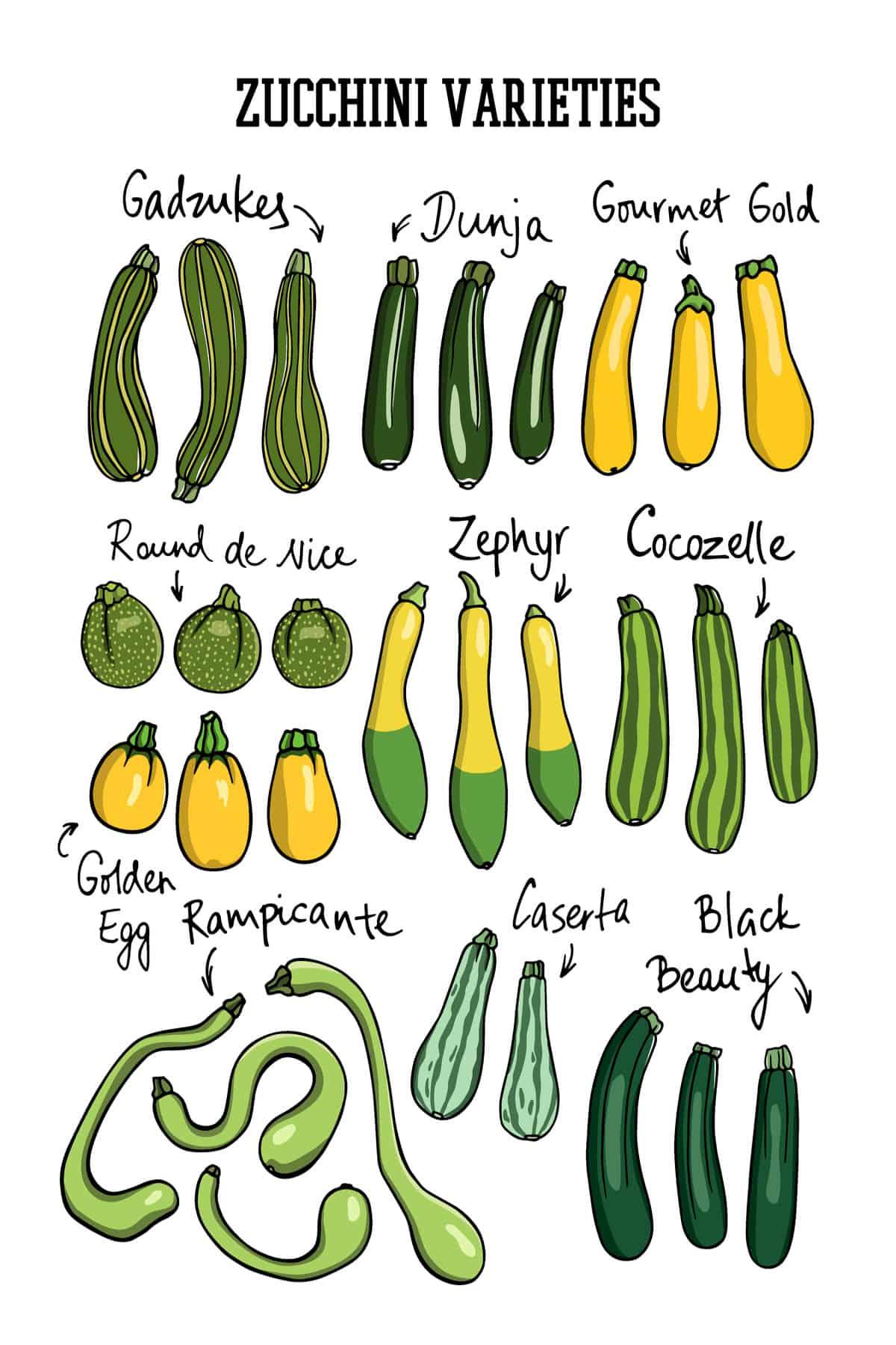 Zucchini types chart