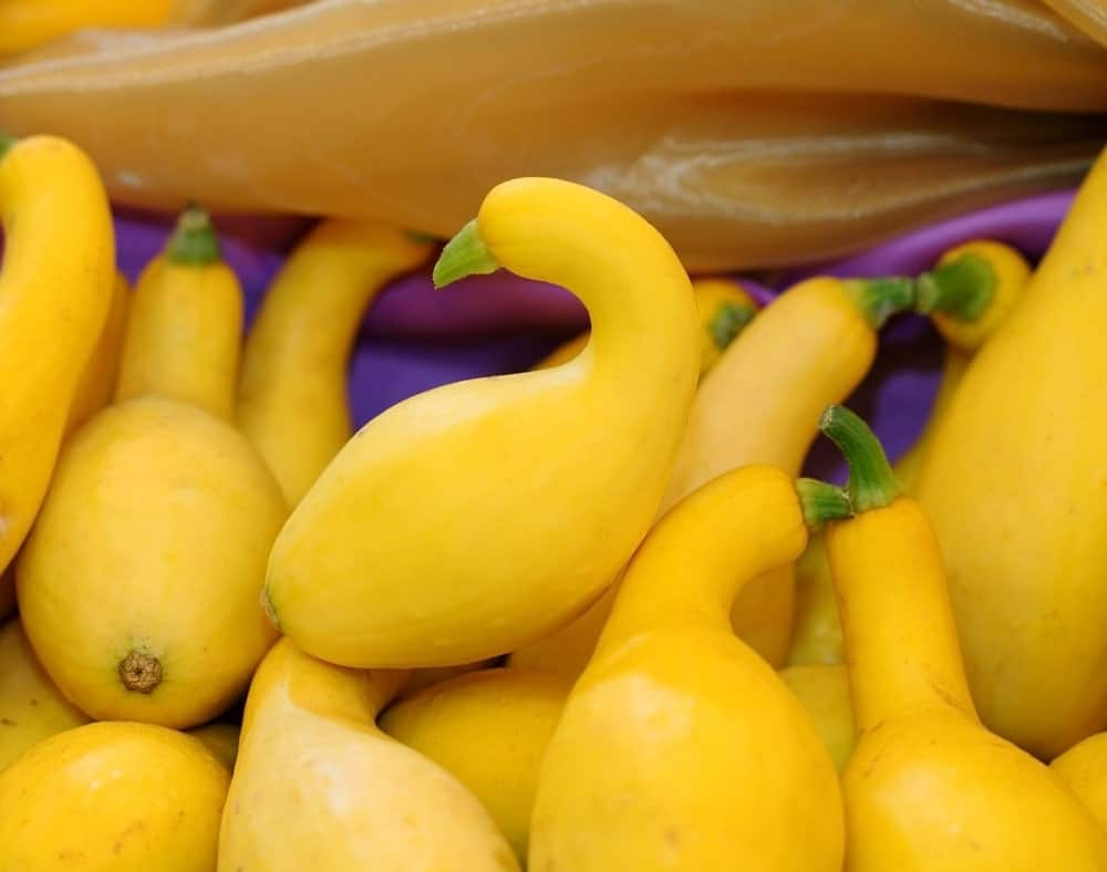 Yellow colored crookneck squash