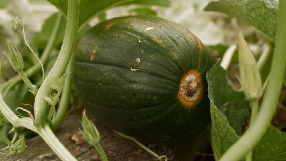 Tatume squash fruit