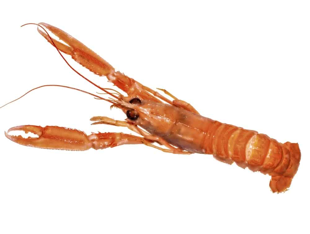 Thymopides lobster