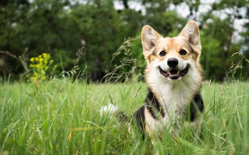 Welsh Corgi smiling while sitting in the grass.