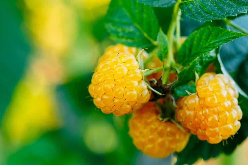 Close-up of yellow organic raspberries