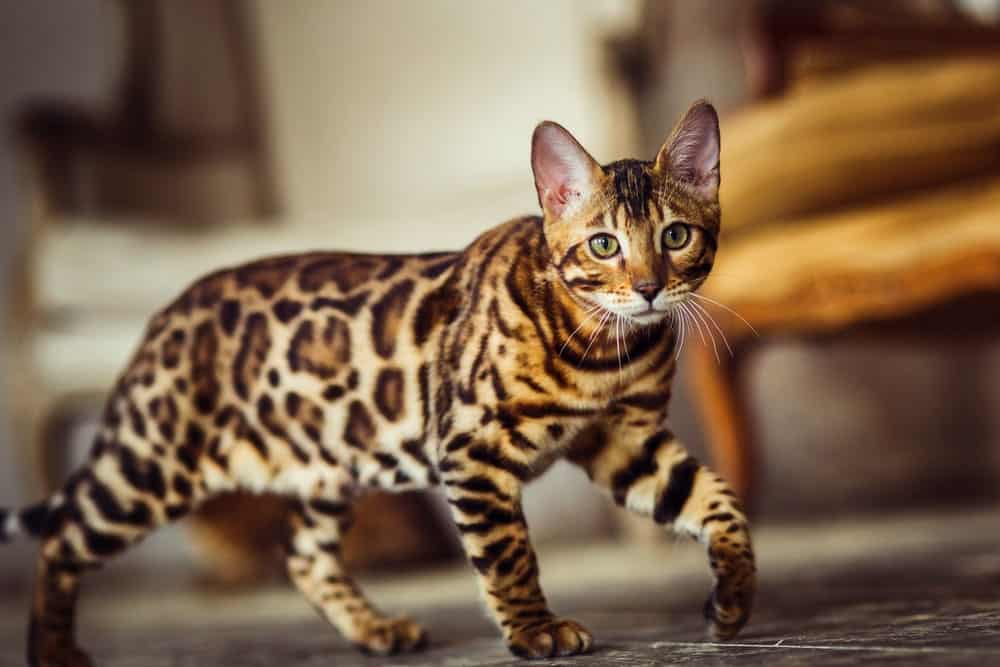 Bengal cat inside a house