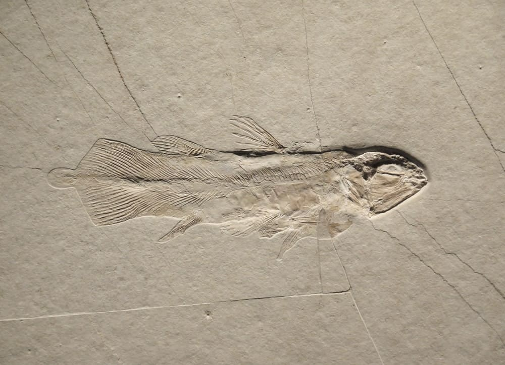 Fish Fossil on Sandstone
