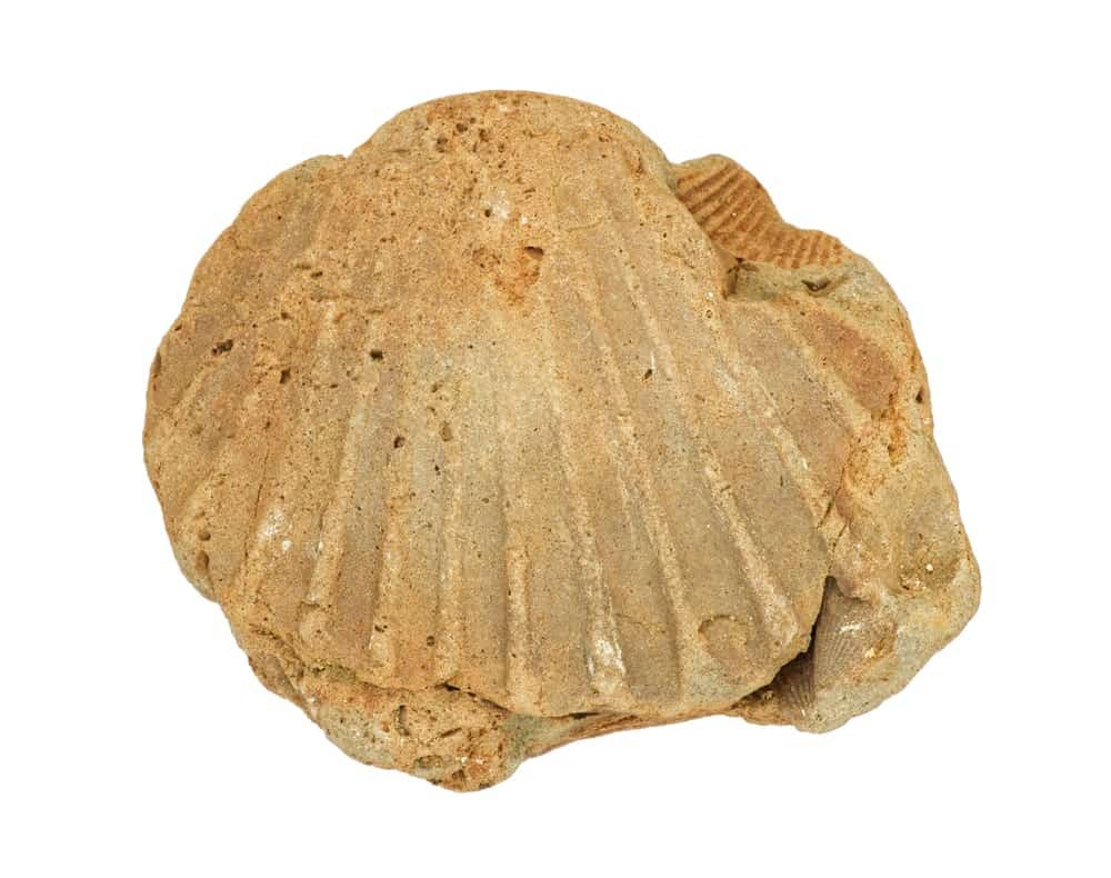 Cast Fossil Shaped like a Shell