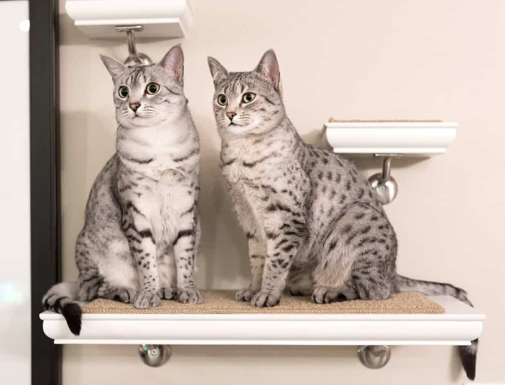 Two Egyptian Mau cats