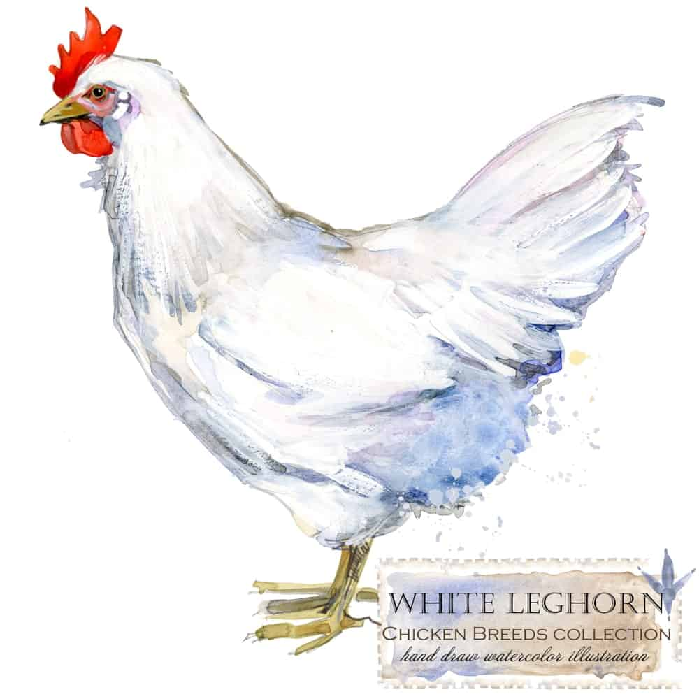 Leghorn chicken breed