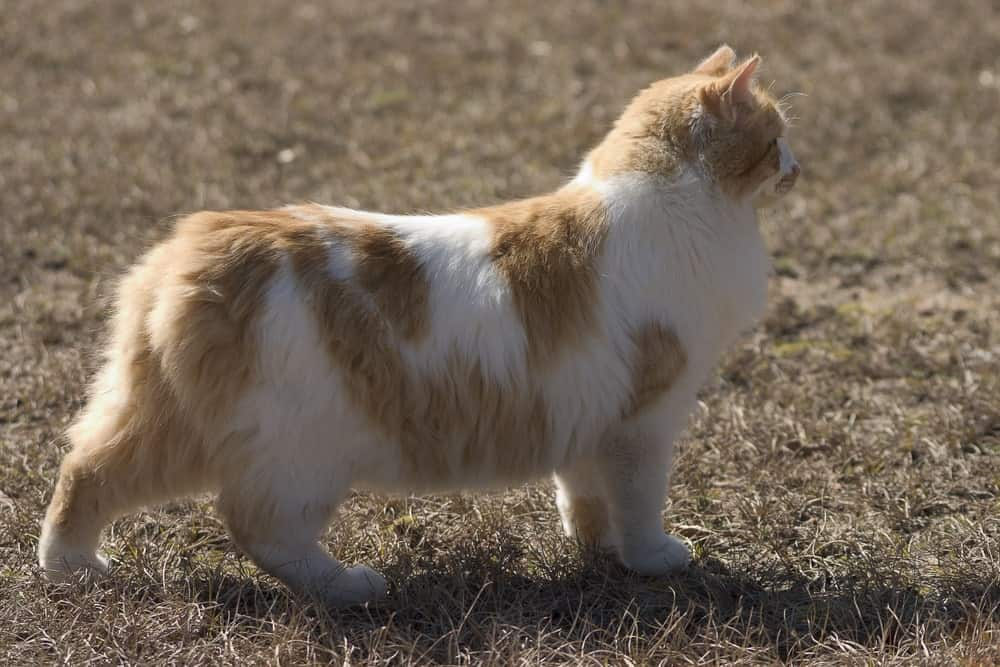 Tail-less Manx cat in a field