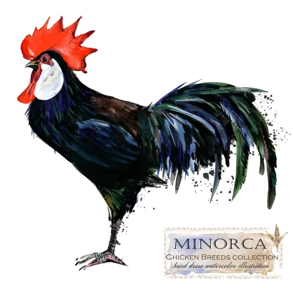 Minorca chicken breed