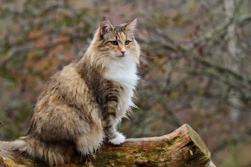 Norwegian Forest cat in a garden