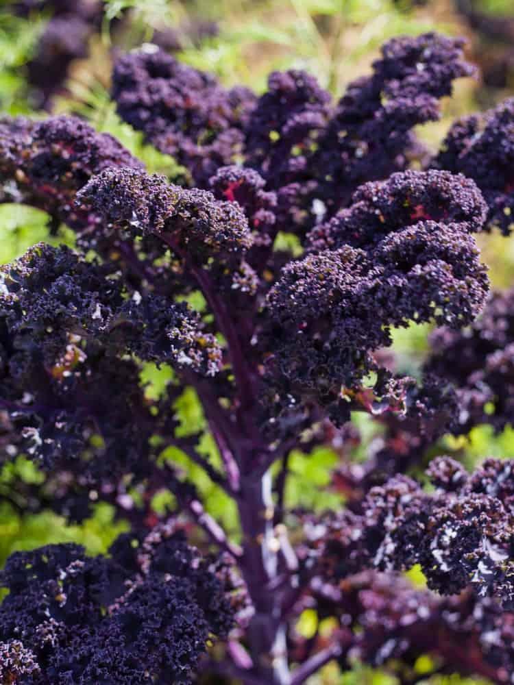 Redbor kale growing in a vegetable garden