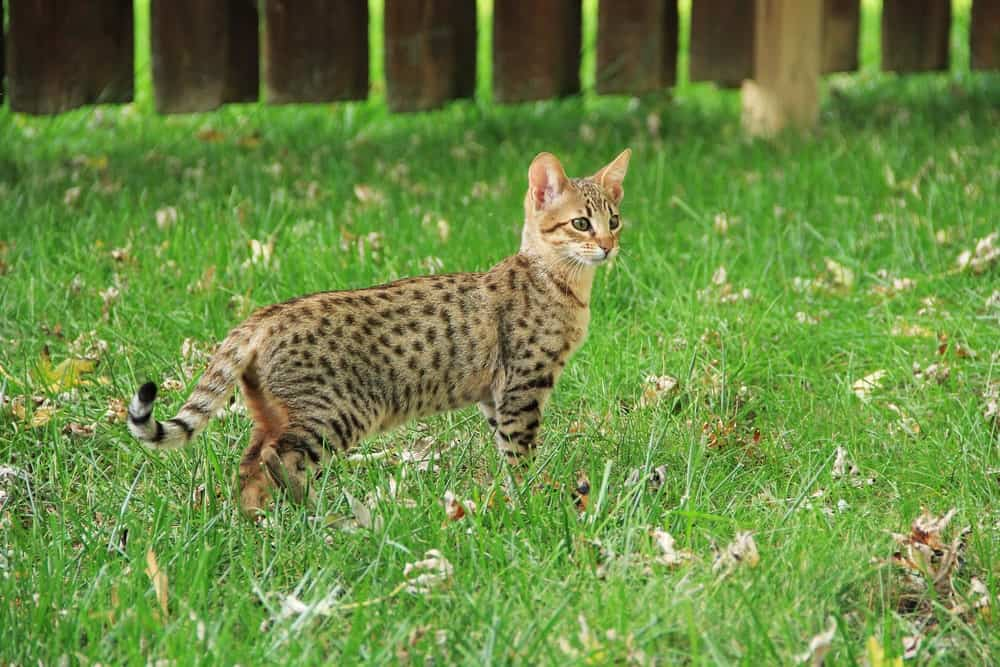 Savannah cat in grass