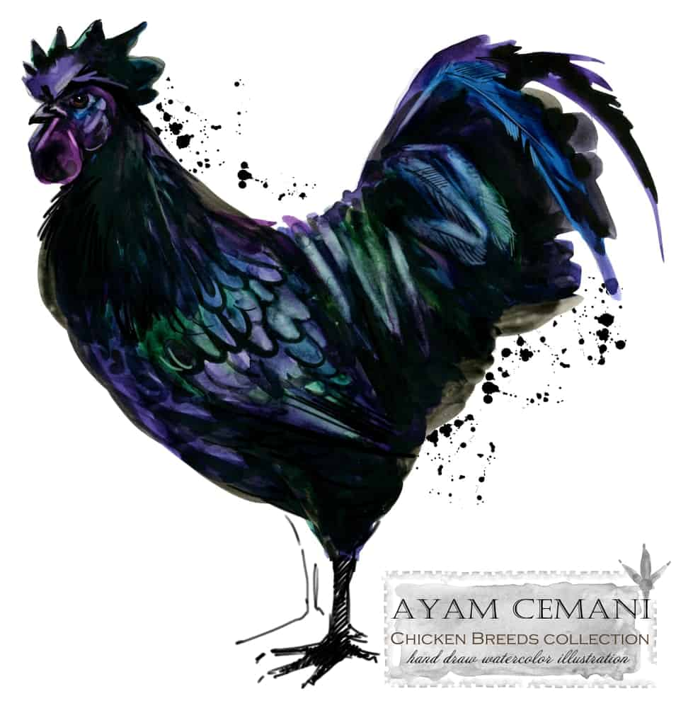 Serama chicken breed