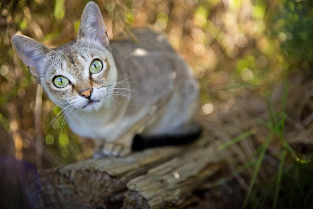 Singapura cat in a garden