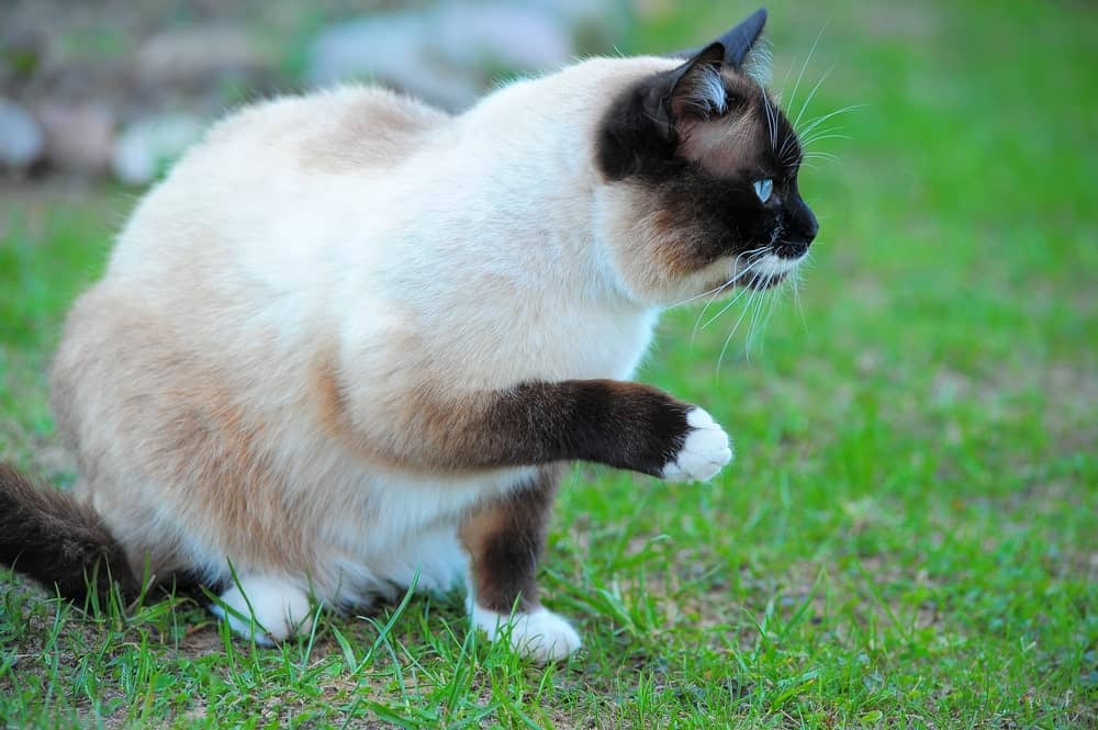 Snowshoe cat sitting in a lawn