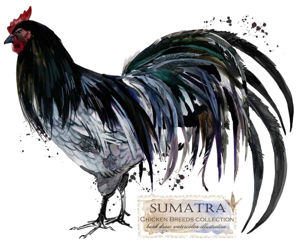 Sumatra chicken breed