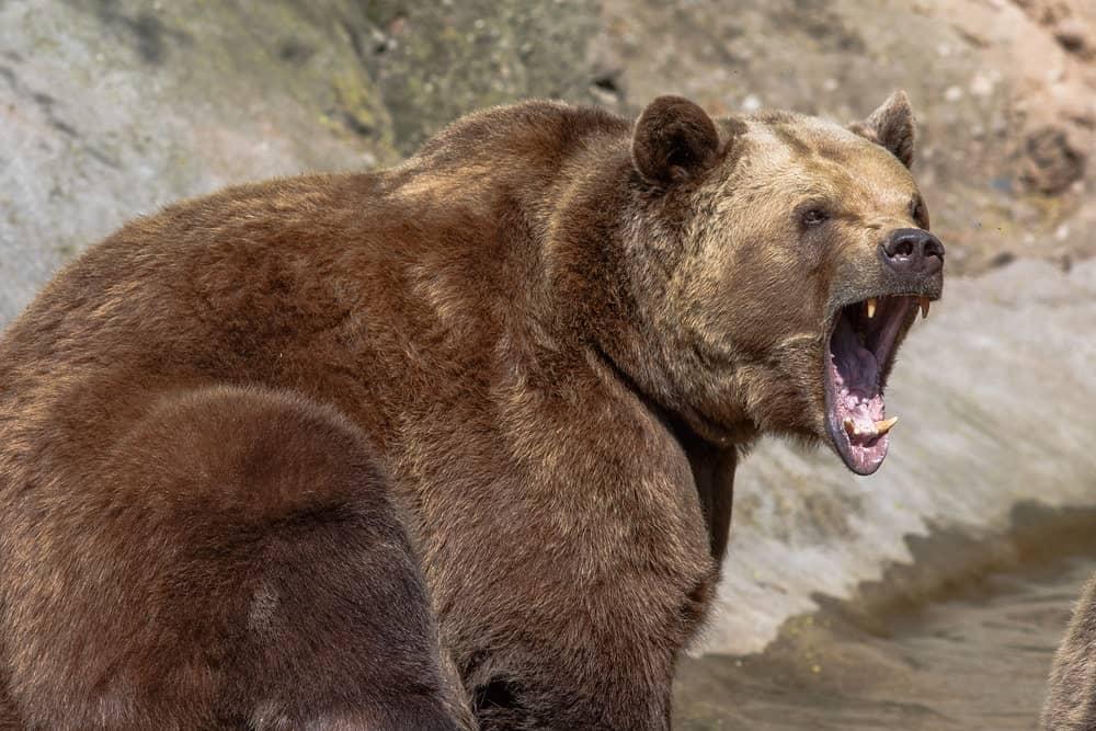 Growling brown bear