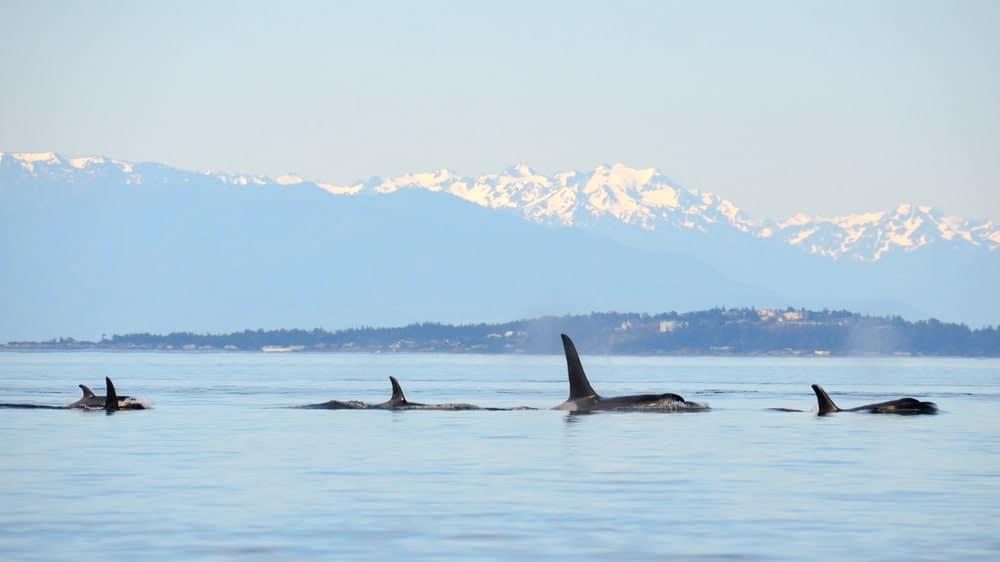 Killer whales in the ocean.