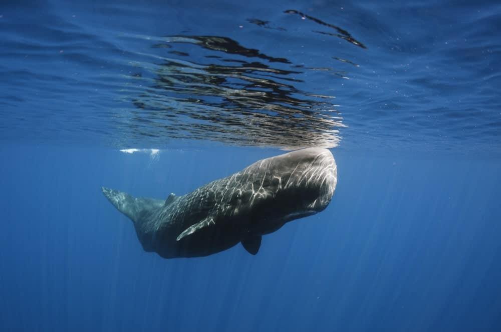 A sperm whale underwater.