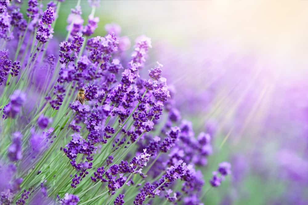 Lavender flowers on a field.