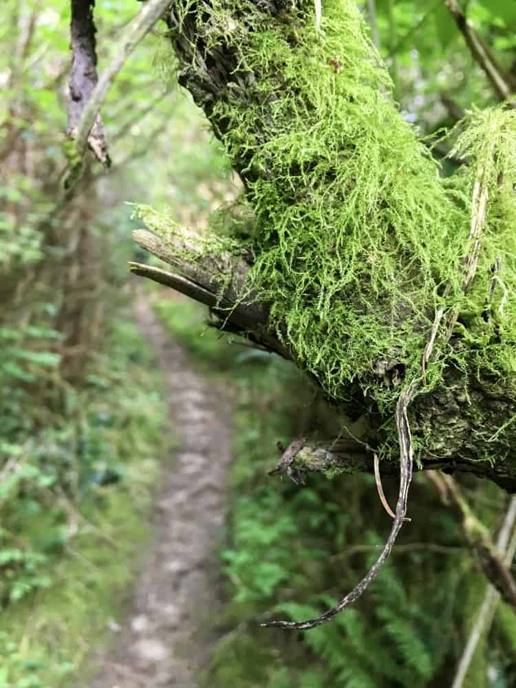 Mossy branch on a forest trail.