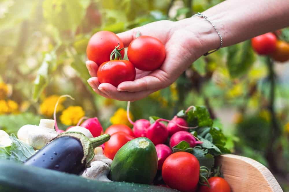 Harvesting tomatoes and other fresh produce.