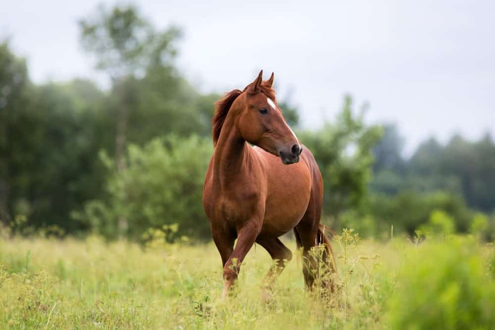 Chestnut horse on an open field.