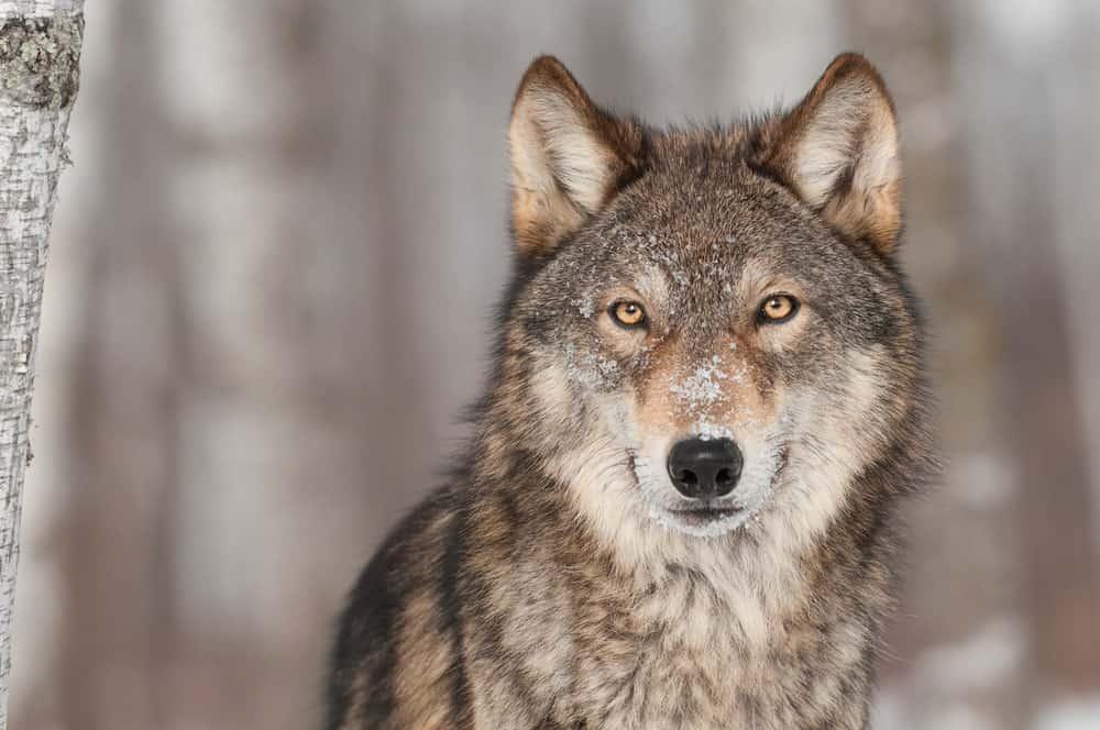 Colorado Wolf Adventures