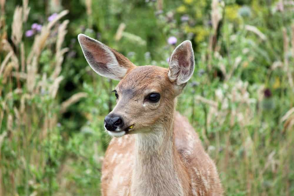 A fawn in Whidbey Island.