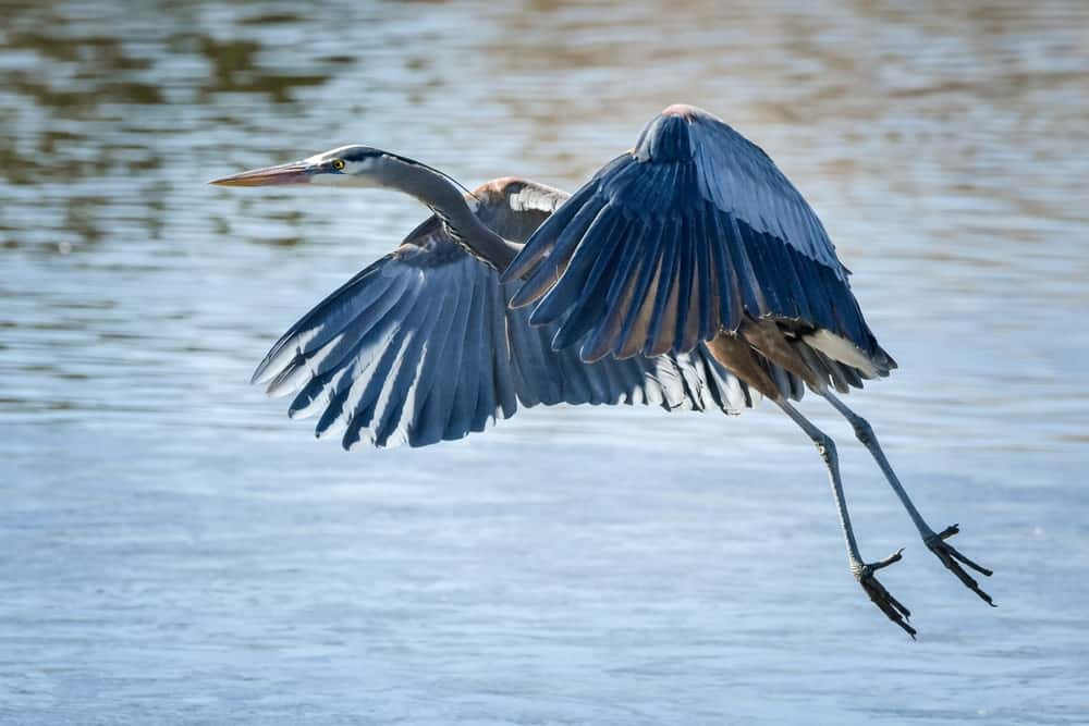 Great blue heron flying above the water.