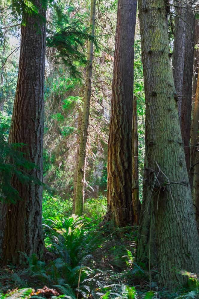 The trees in South Whidbey State Park.