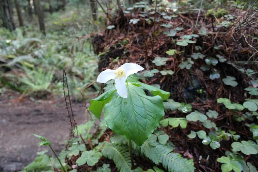 Trillium flower in a forest.