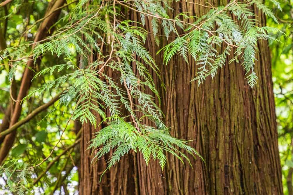 Closeup of a Western Red Cedar trunk.