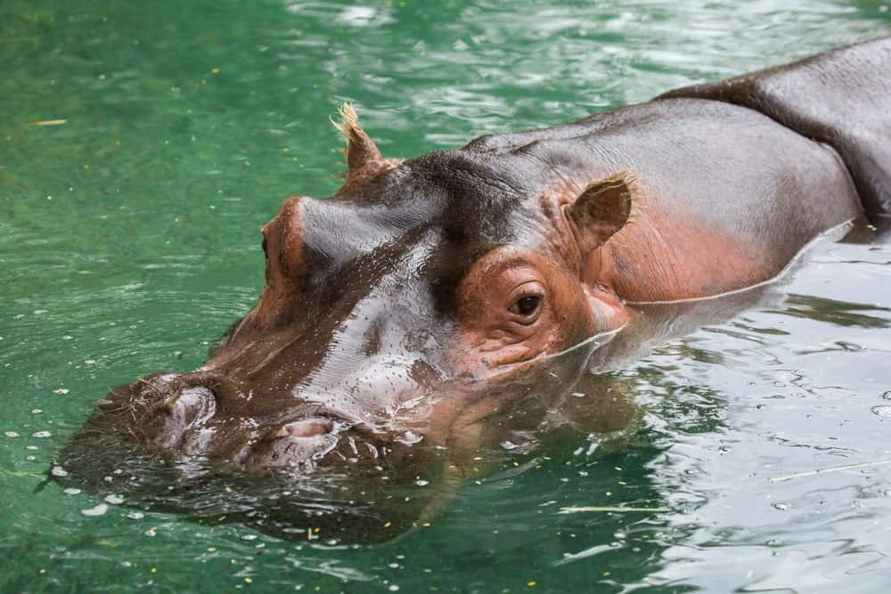Here's a closeup look at a hippo, swimming on the water at the Capital of Texas Zoo located in Cedar Creek.