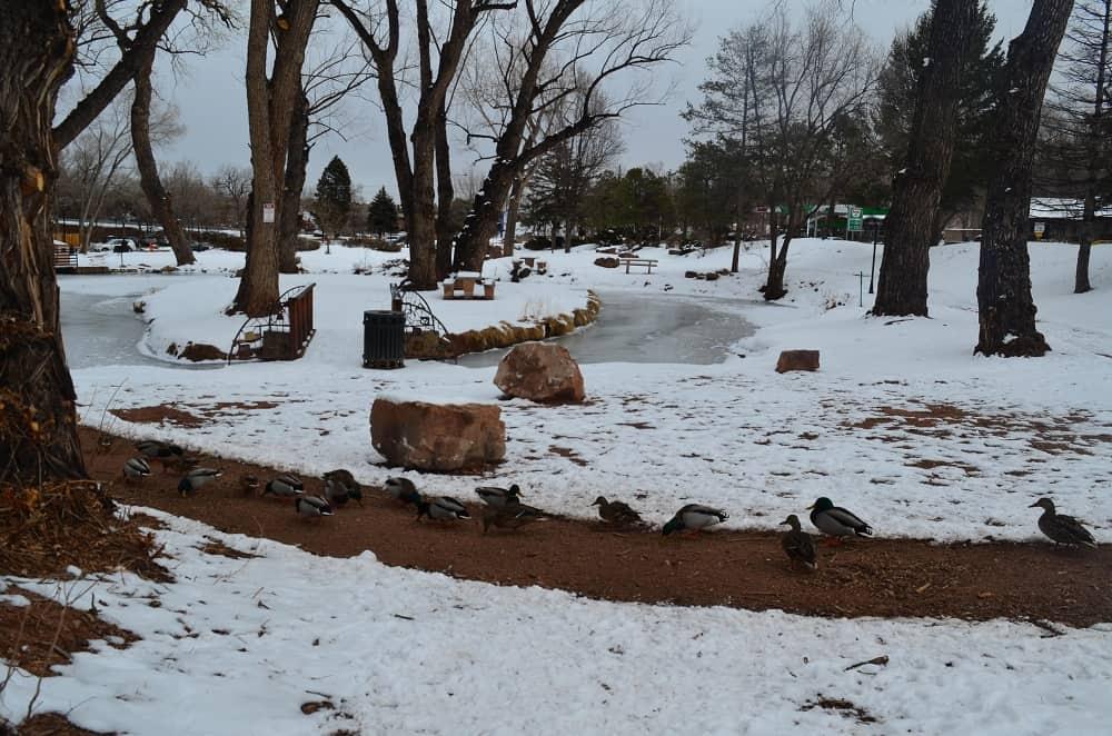 Ducks in Cherry Park near Aquatics Center 202 Manitou Ave.